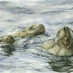 """Inquisitive Trio (Steller's sea lions)."" Watercolor on paper, 2009. 16 x 22 inches. ORIGINAL AVAILABLE, $900 UNFRAMED."