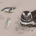 """Magellanic Penguin Studies."" Watercolor and gouache on paper, 2005. 9 x 12 inches."