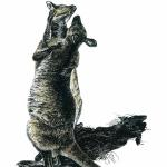 """Playful Embrace"" (Western gray kangaroos). Scratchboard with watercolor, 2009. 9 x 12 inches. ORIGINAL AVAILABLE, $300 UNFRAMED."