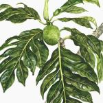 """Uru (breadfruit)."" Watercolor on paper, 2006. 10 x 14 inches."