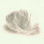 """Gull Feather."" Carbon dust on vellum, 2004. 4 x 6 inches."